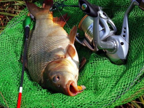 Сазан: ловля сазана, как поймать большую рыбу?