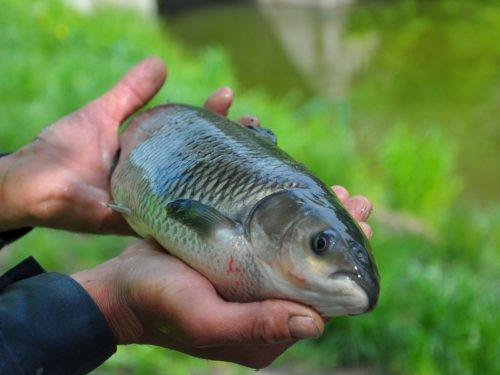 Белый амур: что это за рыба, секреты ловли